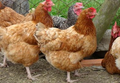 Ptasia grypa – złagodzenie ograniczeń