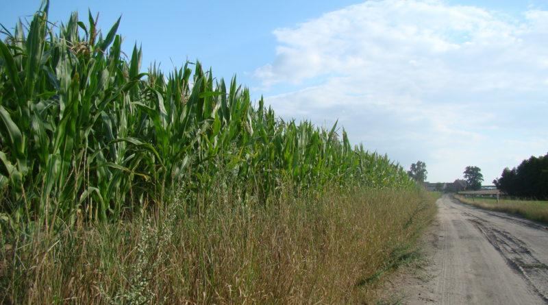 Stosowanie herbicydów w kukurydzy wymaga rozwagi