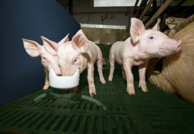 1/3 rolników na Podkarpaciu chciałaby hodować trzodę chlewną