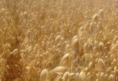 Susza spowoduje wzrost cen pszenicy i produktów zbożowych